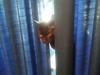 12.6.14 Kater Diabolo hinterm Vorhang